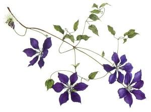 flowers on vines